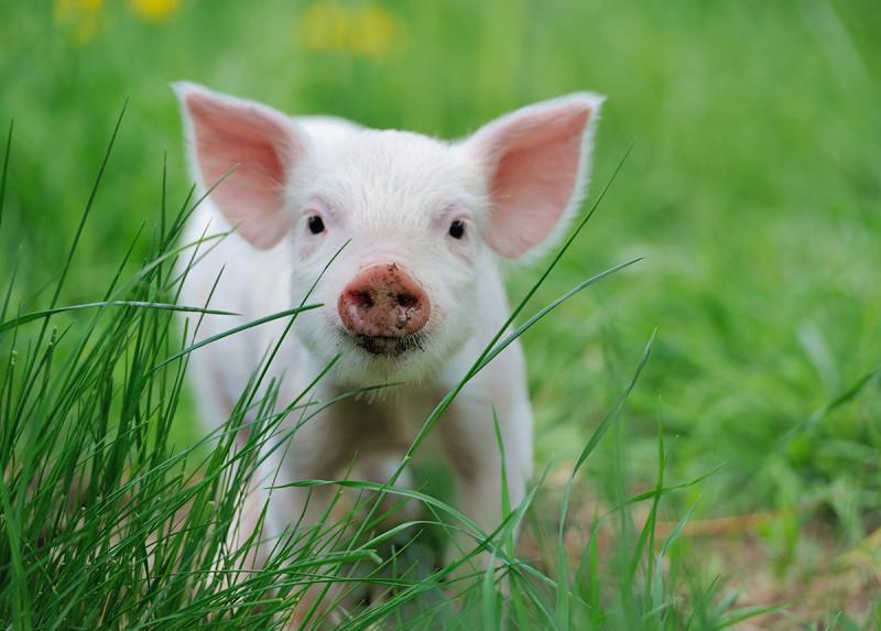 Дайте свиньям желуди и получите более здоровое мясо!