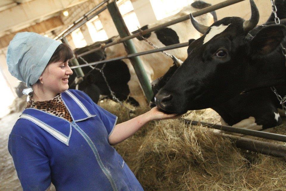 Валовое производство молока в сельхозпредприятиях Подмосковья возросло на 4,3%