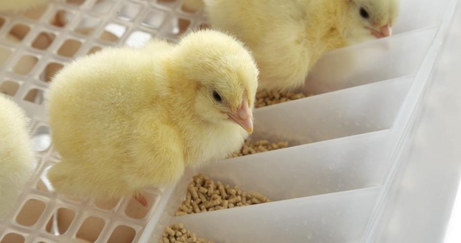 ГАП «Ресурс» первой в России получила цыплят по технологии HatchCare