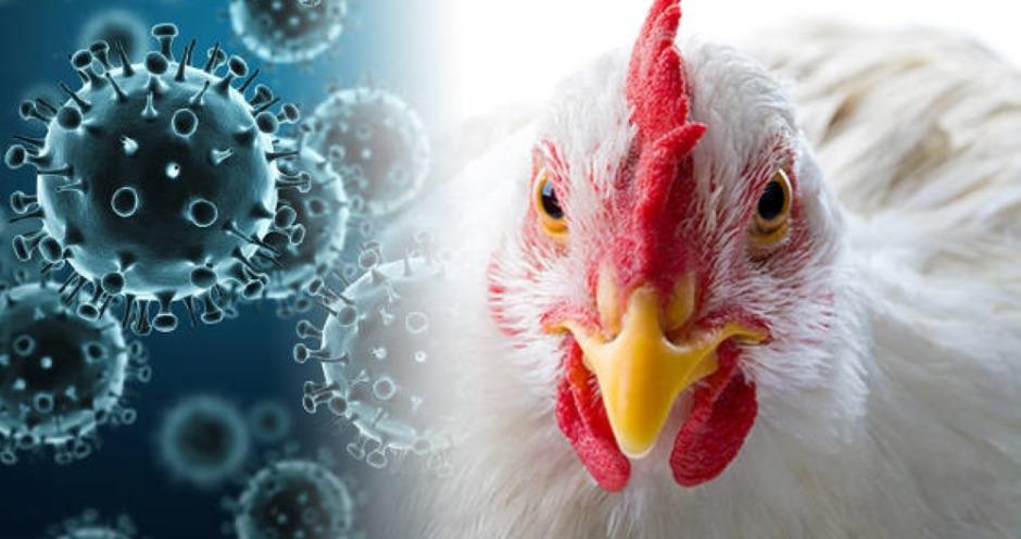 Вирус высокопатогенного гриппа птиц захватывает новые территории