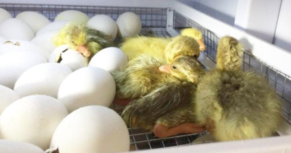 Россельхознадзор отменил запрет на ввоз инкубационного яйца и утят из Германии