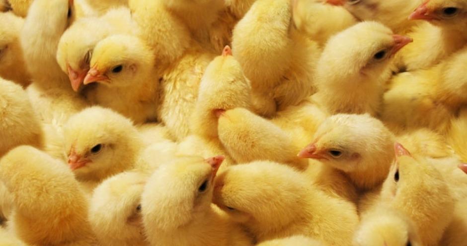 Россельхознадзор смягчил запрет на поставки суточных цыплят и инкубационного яйца из Германии