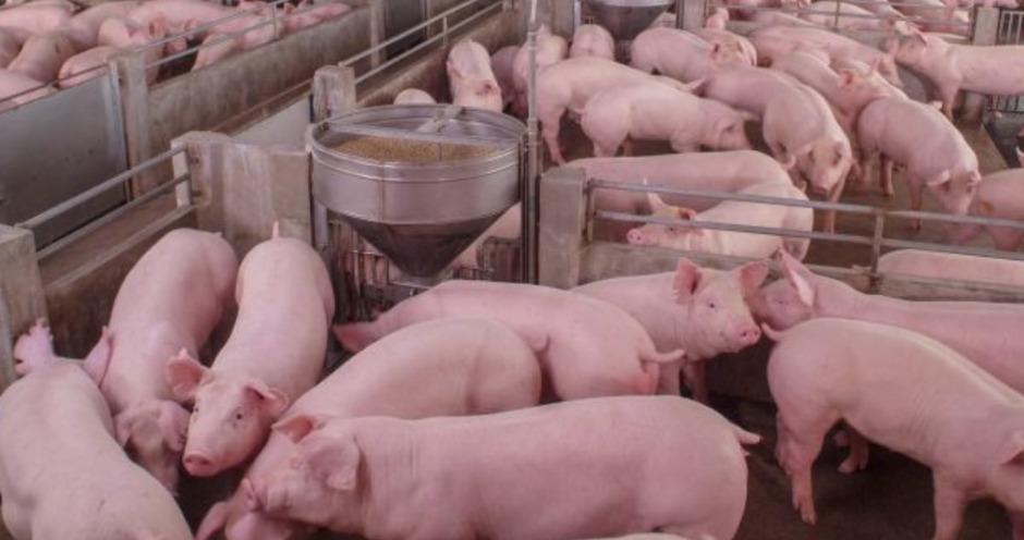 Поголовье Пермского свинокомплекса ушло с торгов за ₽68,4 млн